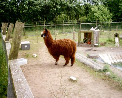 Alpaca03