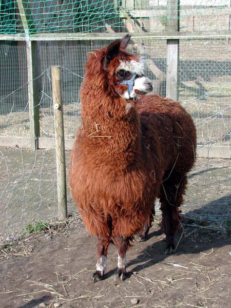 Alpaca04