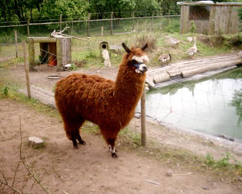 Alpaca07