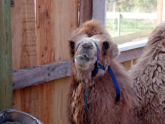 Camel04