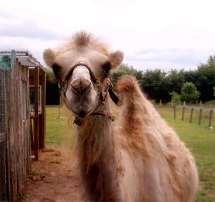 Camel08