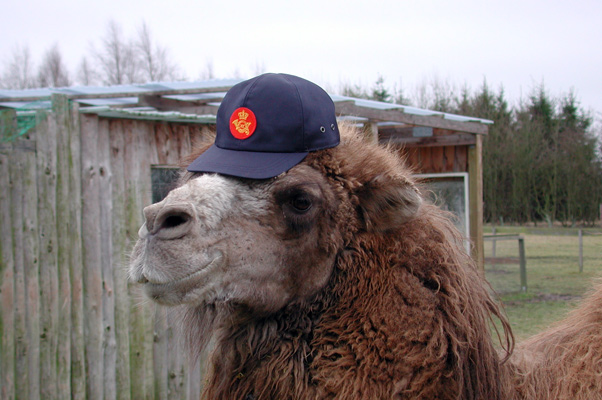 Camel17