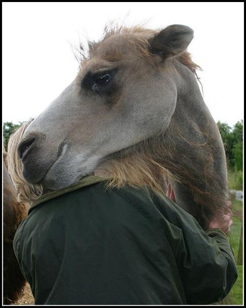 Camel19