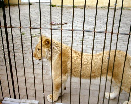 Lion24