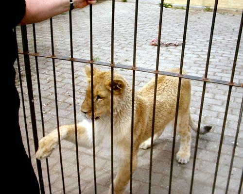 Lion25