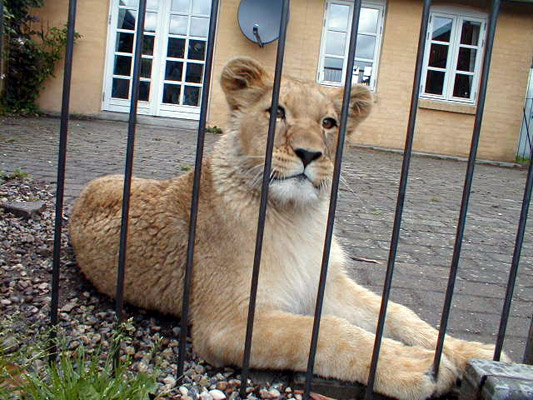 Lion27