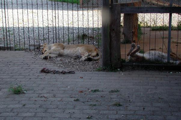 Lion28