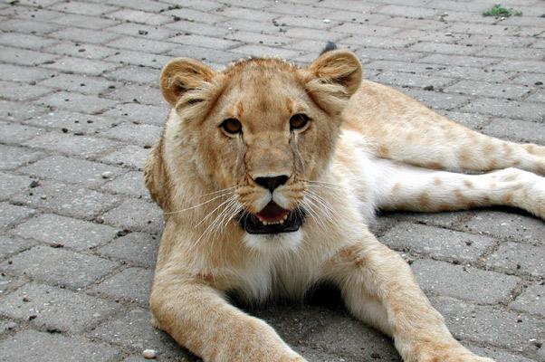 Lion34