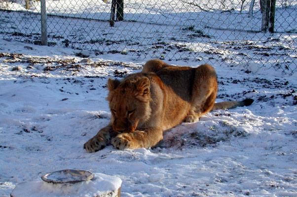 Lion35