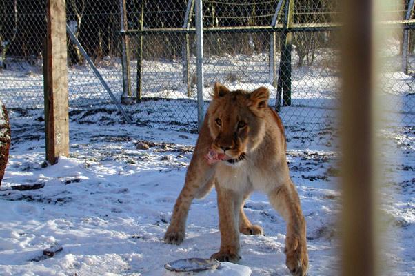 Lion36