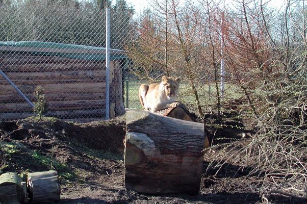 Lion41