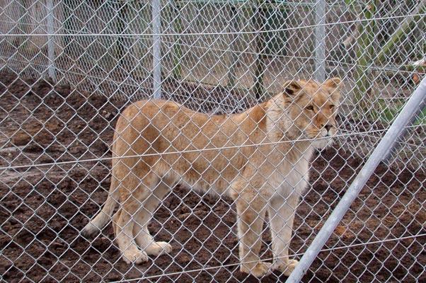 Lion42
