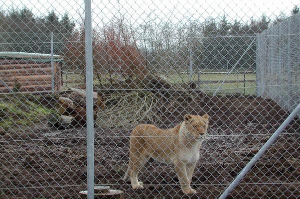 Lion43