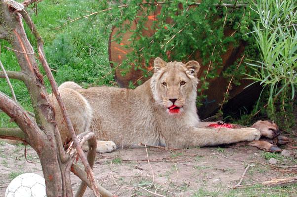 Lion44