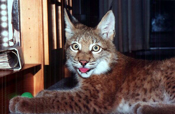 Lynx02