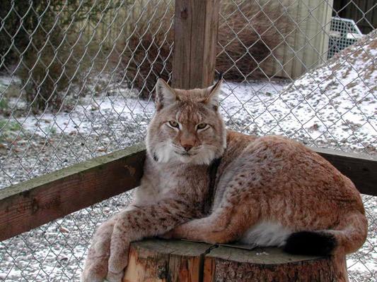 Lynx06