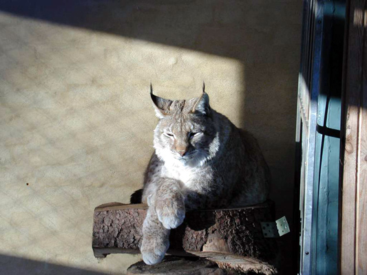 Lynx07