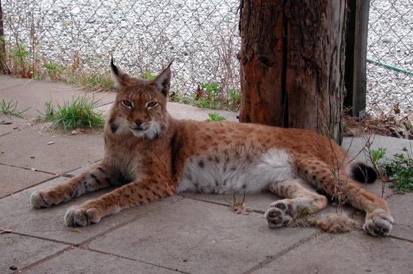 Lynx10