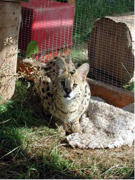 Serval04