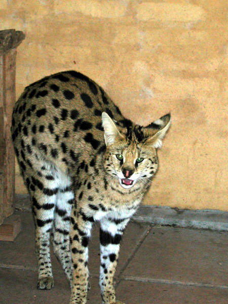 Serval05