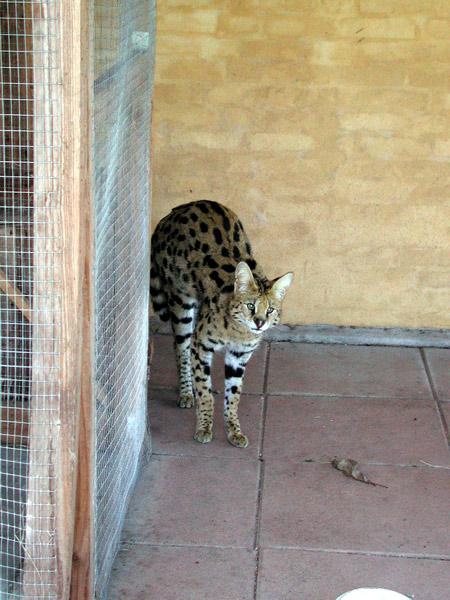 Serval06